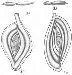Spiroloculina tenuimargo, author: Cedhagen, Tomas