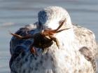 jonge meeuw met lekker hapje