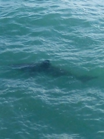 Reuzenhaai - Cetorhinus maximus