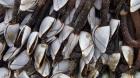 Eendenmossels bij Ster der Zee