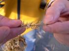 harige vlieselpoliep (Electra pilosa) op zeedraad