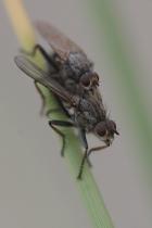 Scathophaga litorea