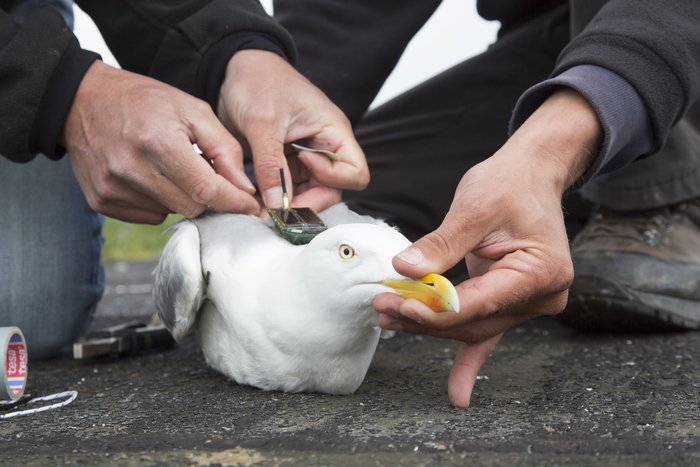 Tagged herring gull