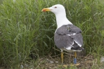 Lesser black-backed gull with transmitter