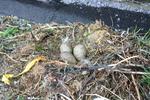 Nest Zilvermeeuw